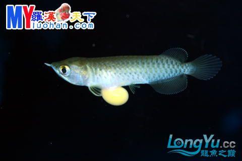 龙之诞生————最初的五十一日 重庆龙鱼论坛 重庆水族批发市场第36张