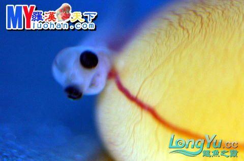 龙之诞生————最初的五十一日 重庆龙鱼论坛 重庆水族批发市场第53张