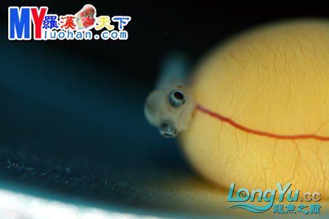龙之诞生————最初的五十一日 重庆龙鱼论坛 重庆水族批发市场第55张