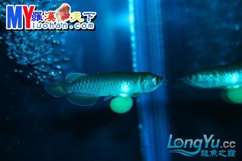 龙之诞生————最初的五十一日 重庆龙鱼论坛 重庆水族批发市场第34张
