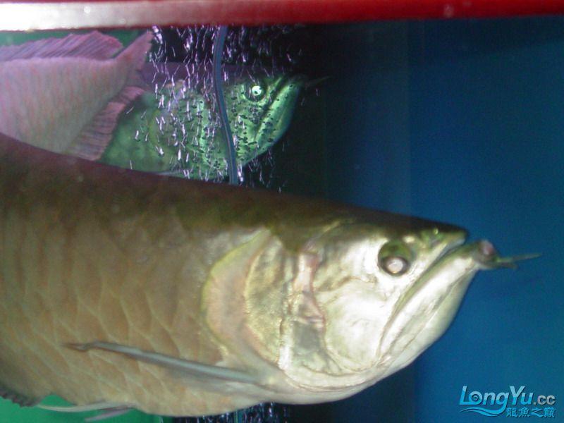 银龙疾病求助! 重庆观赏鱼 重庆水族批发市场第9张