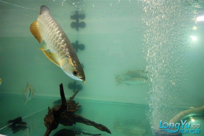 达州水族市场虎年新进一龙 26公分 更新中。。。。。。3.18 达州龙鱼论坛 达州水族批发市场第6张