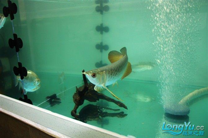 达州水族市场虎年新进一龙 26公分 更新中。。。。。。3.18 达州龙鱼论坛 达州水族批发市场第7张