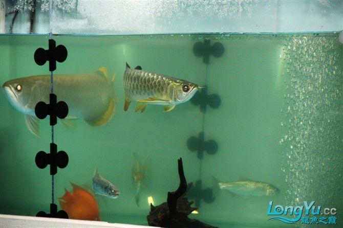 达州水族市场虎年新进一龙 26公分 更新中。。。。。。3.18 达州龙鱼论坛 达州水族批发市场第10张