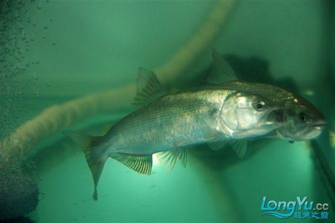 达州水族市场虎年新进一龙 26公分 更新中。。。。。。3.18 达州龙鱼论坛 达州水族批发市场第12张