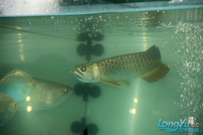 达州水族市场虎年新进一龙 26公分 更新中。。。。。。3.18 达州龙鱼论坛 达州水族批发市场第9张