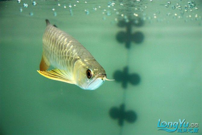 达州水族市场虎年新进一龙 26公分 更新中。。。。。。3.18 达州龙鱼论坛 达州水族批发市场第3张