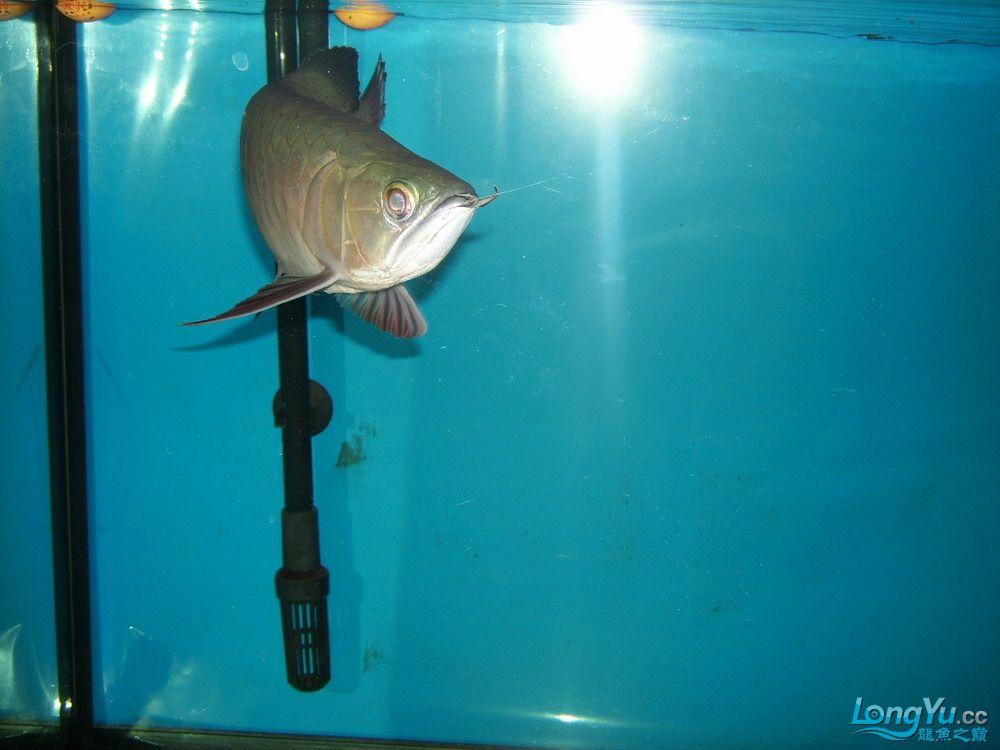 达州鱼缸带我家4个月的小宝来亮亮相,欢迎大家拍砖。。。帮忙鉴定下有发展没。 达州龙鱼论坛 达州水族批发市场第2张