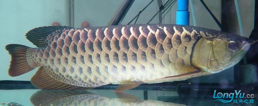 高手帮我看看我的过被值多少钱!!!!! 营口观赏鱼 营口龙鱼第3张