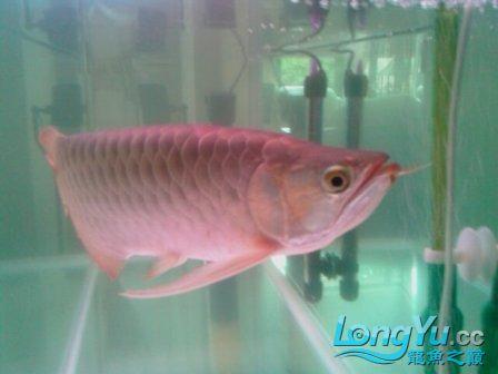 前天从淘宝上海的JS处购入据称是辣椒红龙 观赏鱼常见疾病 南通水族批发市场第2张
