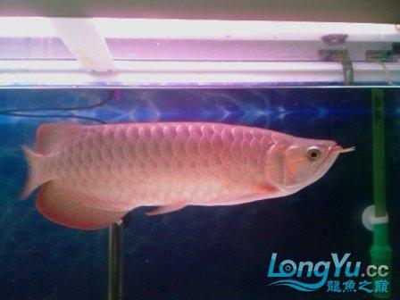 前天从淘宝上海的JS处购入据称是辣椒红龙 观赏鱼常见疾病 南通水族批发市场第4张