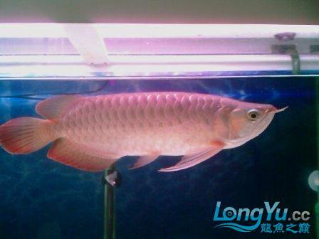 前天从淘宝上海的JS处购入据称是辣椒红龙 观赏鱼常见疾病 南通水族批发市场第3张