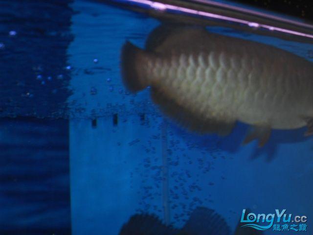 【温州蓝底过背龙鱼】请各位高手帮忙看看温州超级大鱼场这是什么状况?