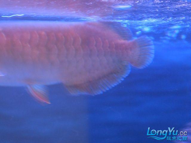 【温州蓝底过背龙鱼】请各位高手帮忙看看温州超级大鱼场这是什么状况? 温州龙鱼论坛 温州龙鱼第2张