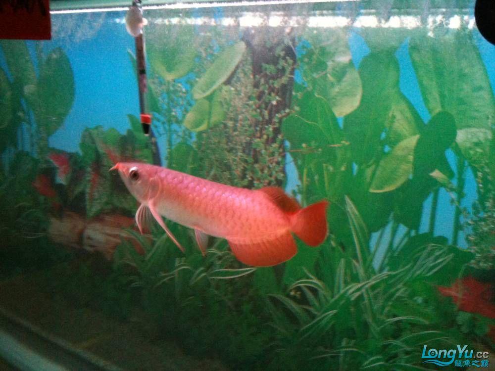 小龙胸鳍有一小红点 温州水族批发市场 温州龙鱼第2张