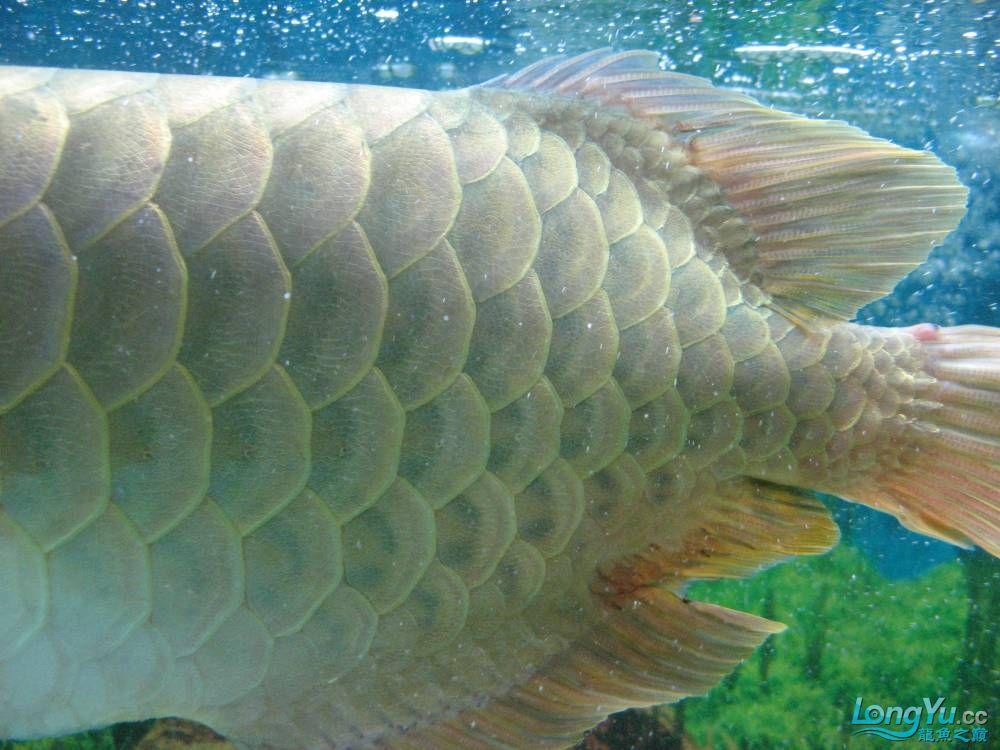 尾鳍手术青岛个人出售鹦鹉鱼 青岛水族批发市场 青岛龙鱼第1张