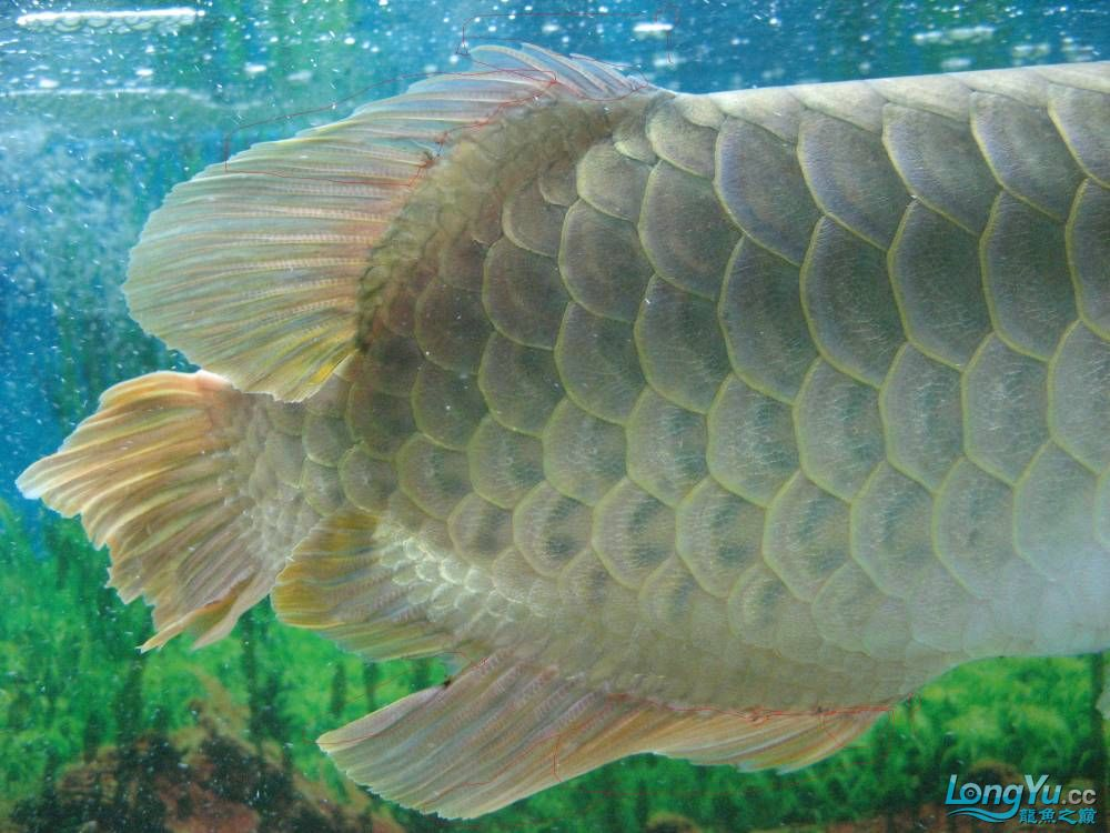 尾鳍手术青岛个人出售鹦鹉鱼 青岛水族批发市场 青岛龙鱼第4张