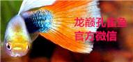 龙巅孔雀鱼论坛官方微信