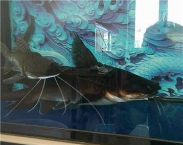 全国最大一条澳洲鲑鲶稀有之物