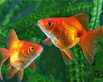 金鱼配绿叶