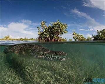 外国父女伴游2米长鳄鱼