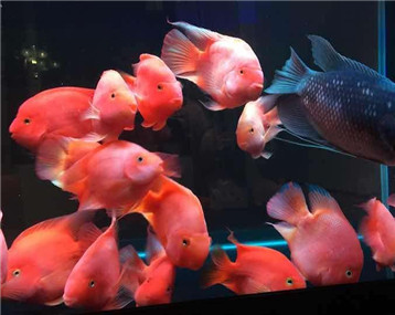 【财神笑】 我的元宝鹦鹉鱼
