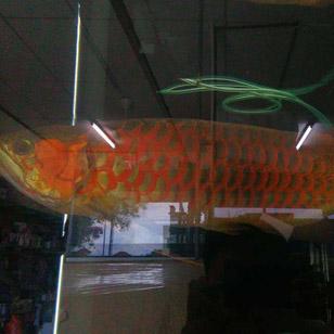 自然光下的红龙鱼