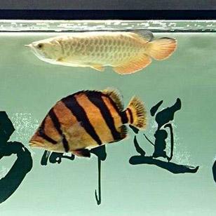 泰虎,龙鱼,成长记