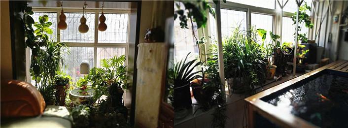 兴之所至,再晒晒客厅陶瓷金鱼缸和阳台锦鲤地缸  (10-23)