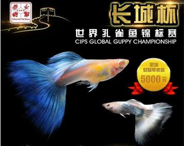 """""""长城杯""""世界孔雀鱼锦标赛,比比谁更绚?"""