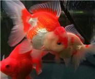 美丽的金鱼