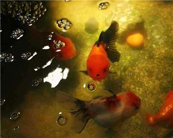 养绿水很重要,金鱼还是非常喜欢小球藻的