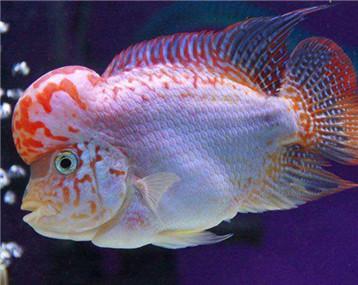 这是什么品种的鱼?