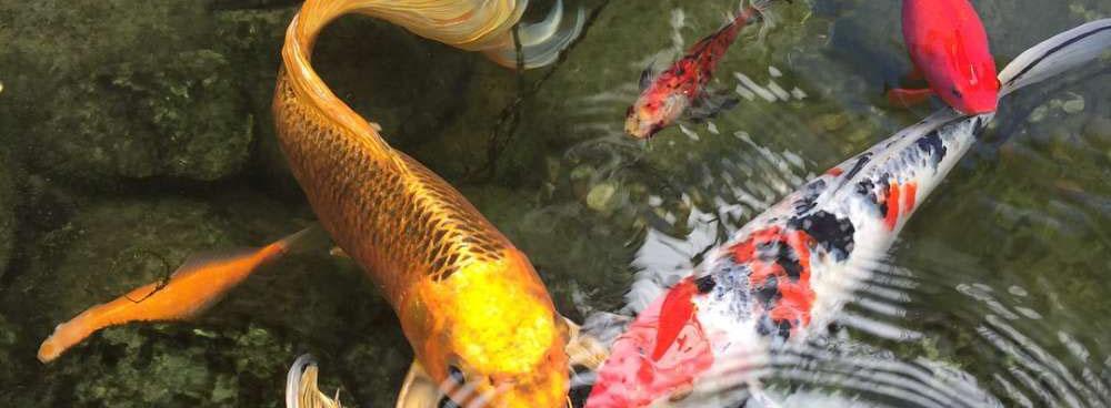 鲤鱼戏水  (04-27)