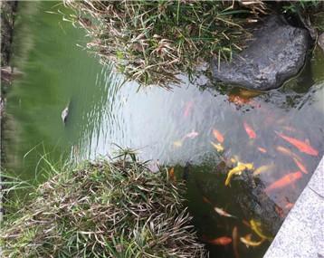 水深30公分左右,照样养大鱼