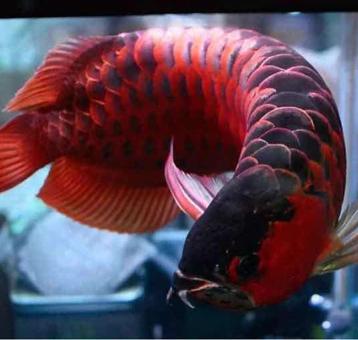 这鱼养的真是漂亮啊    12年绿皮辣椒