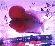 红钻罗汉鱼?