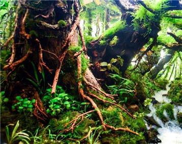 60cm水草造景作品《禅绕》