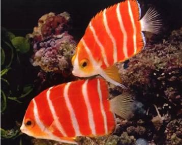 价值不菲的美鱼