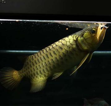 喂颗粒人省力,对鱼其实也蛮好。