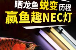晒龙鱼蜕变历程,赢鱼趣NEC灯