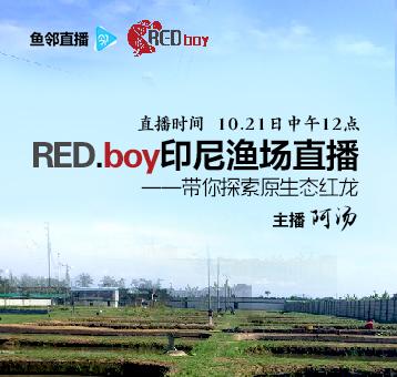 red.boy印尼渔场直播——带你探索原生态红龙