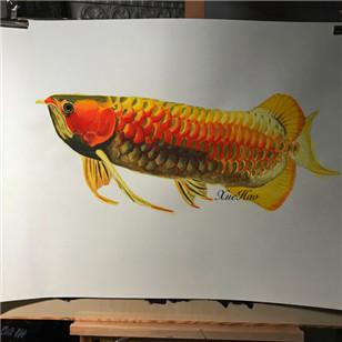 红龙鱼手绘