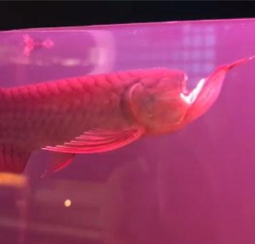 鱼坚强,这样都没死!