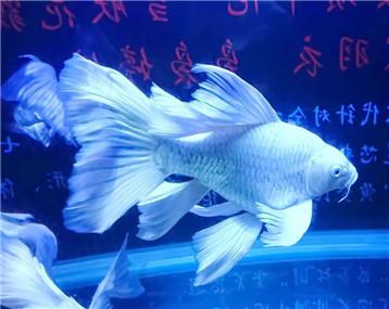 龙鱼之巅超级访问第四十四期—蝴蝶龍鯉傳奇 -改良之路