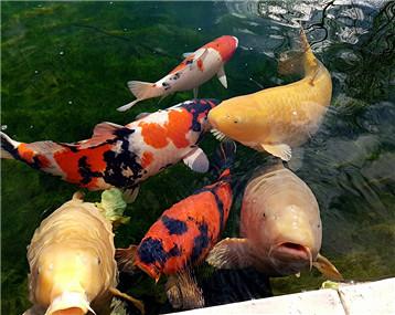 这一层绿毯,这一池好鱼!