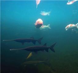 这一池好鱼,水下也是别有一番景色!  (04-19)