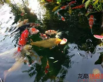 不吃西瓜的鱼不是好锦鲤!