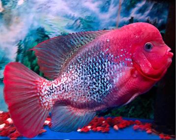 古典罗汉鱼