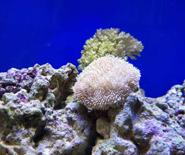 皮革珊瑚开花了